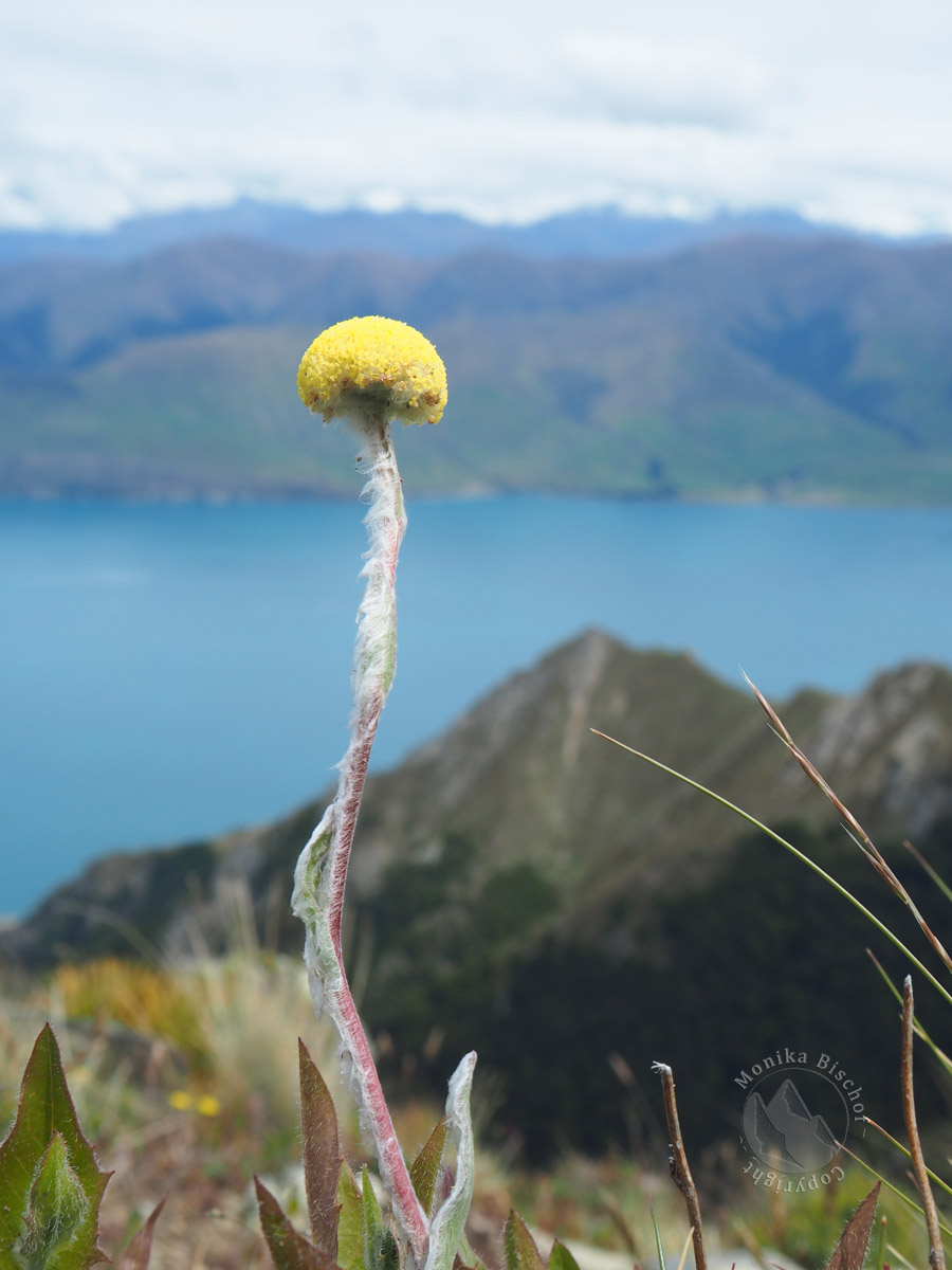 Craspedia - Woollyhead, Lake Hawea New Zealand