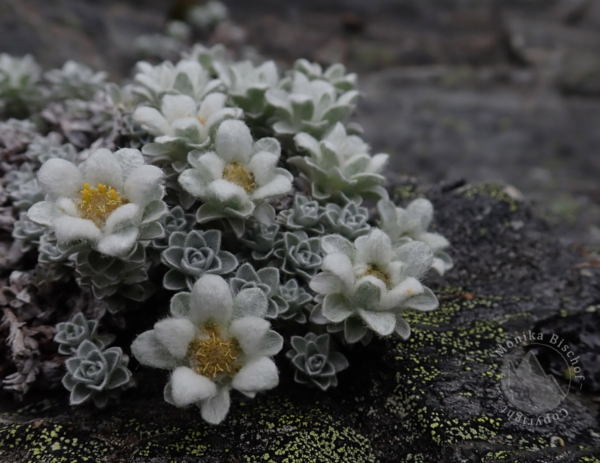South Island Edelweiss - Leucogenes grandiceps, New Zealand alpine flowers