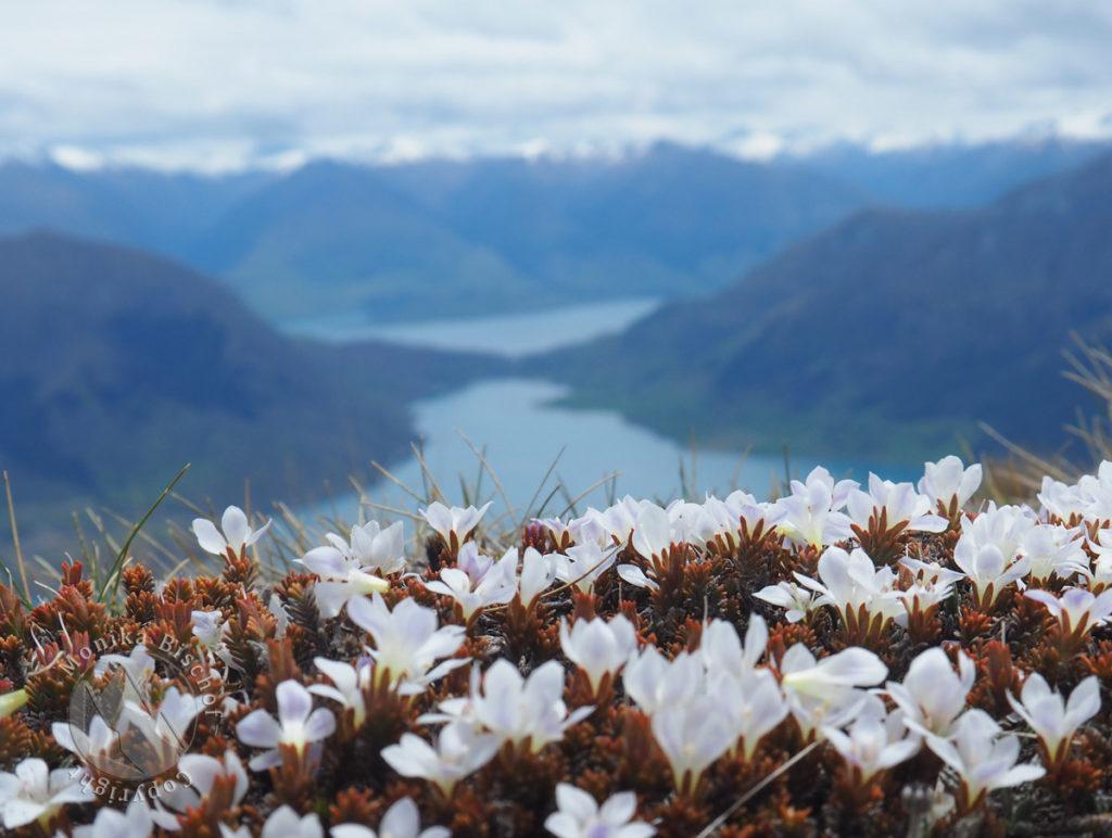 Veronica densifolia, Lake Hawea, Wanaka, New Zealand
