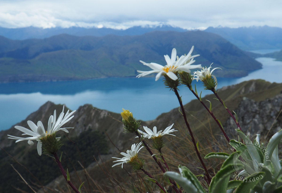 New Zealand native flowers, Lake Hawea