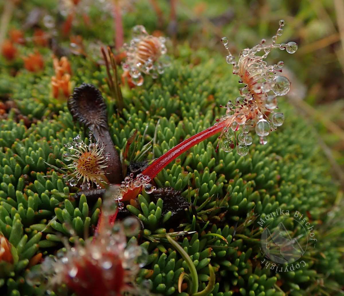 Sundew - Drosera, Boreland New Zealand