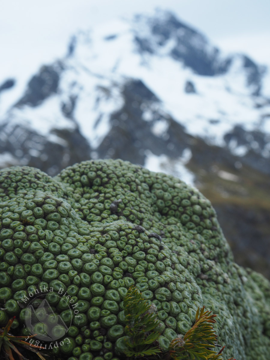 Vegetable sheep - Raoulia buchananii, Gillespie pass New Zealand