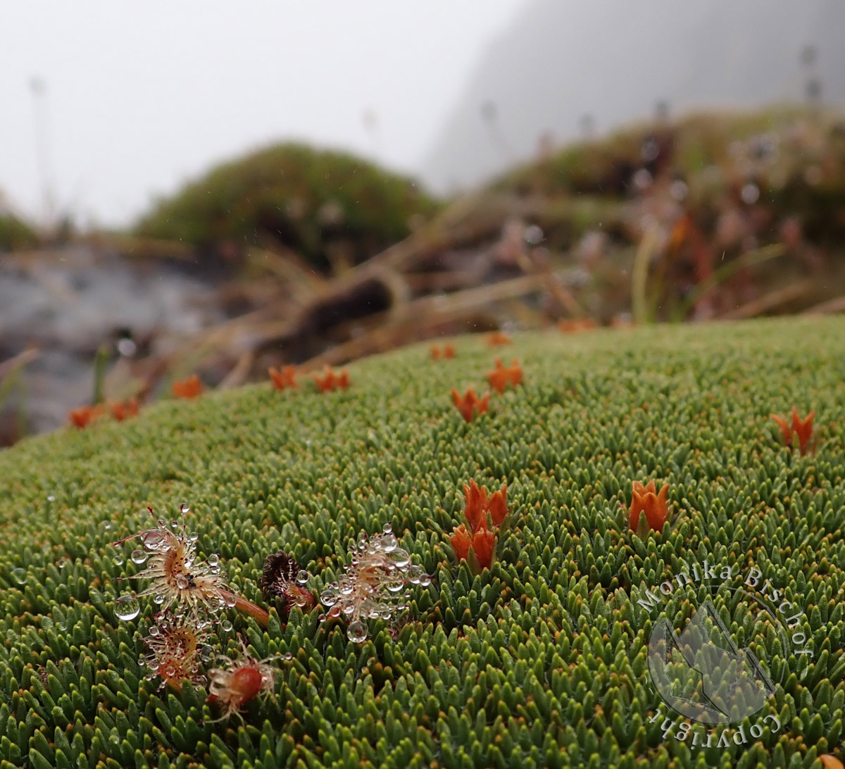cushion plant and sundew, New Zealand alpine flowers