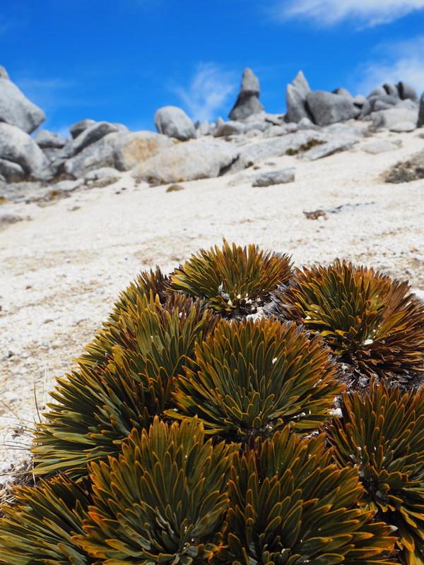 Aciphylla congesta, New Zealand alpine flowers
