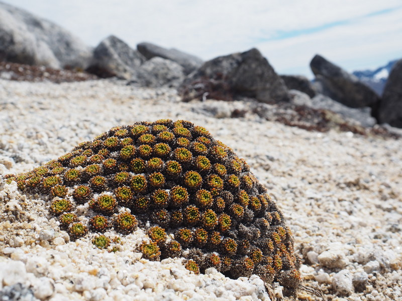 Hectorella caespitosa, New Zealand Alpine Flowers
