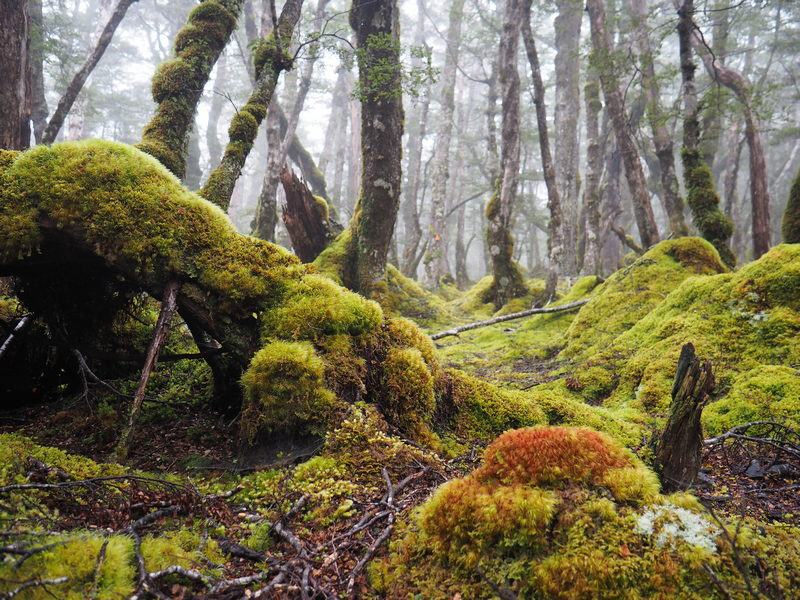 New Zealand beech forest
