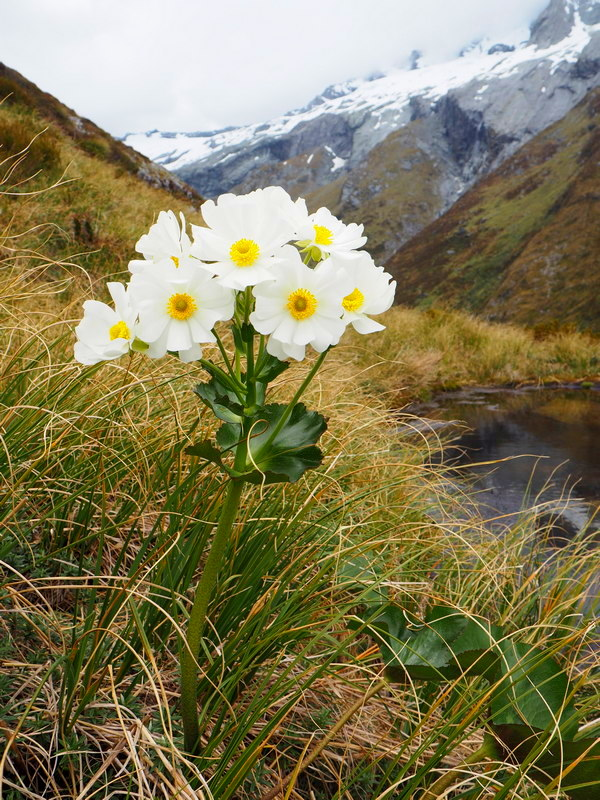Ranunvulus lyallii - Mount Cook lily, New Zealand alpine flowers
