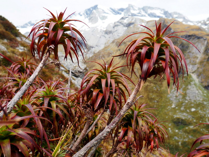 Pineapple Scrub - Dracophyllum menziessii, New Zealand alpine flowers