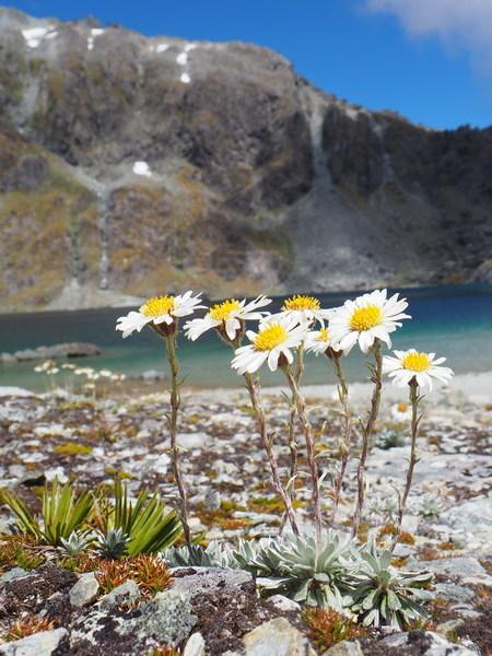 Hector's Daisy - Celmisia hectorii, New Zealand alpine flowers