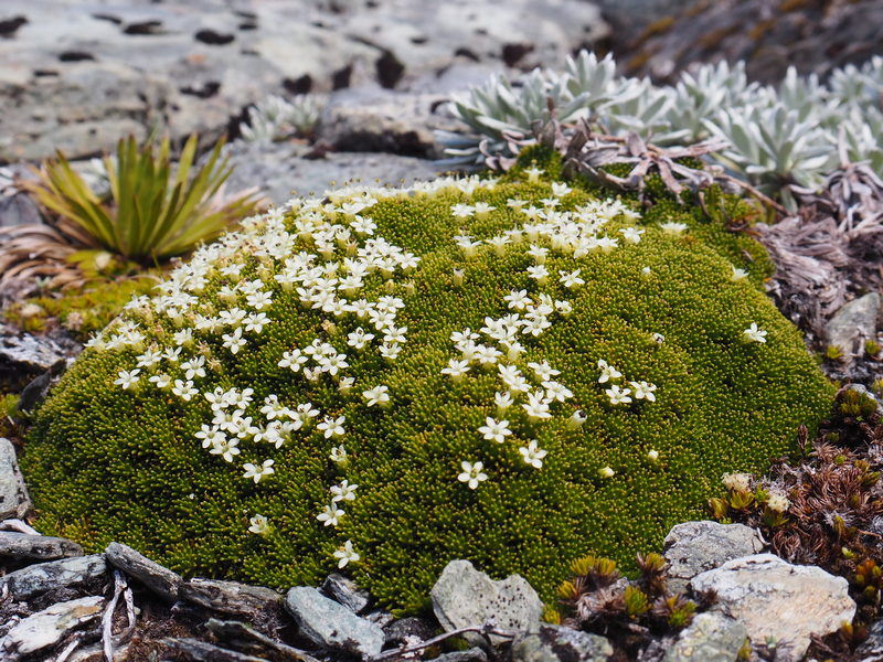 New Zealand cushion plant - Donatia novae-zelandie, New Zealand alpine flowers