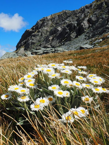 Large Mountain Daisy, New Zealand alpine flowers