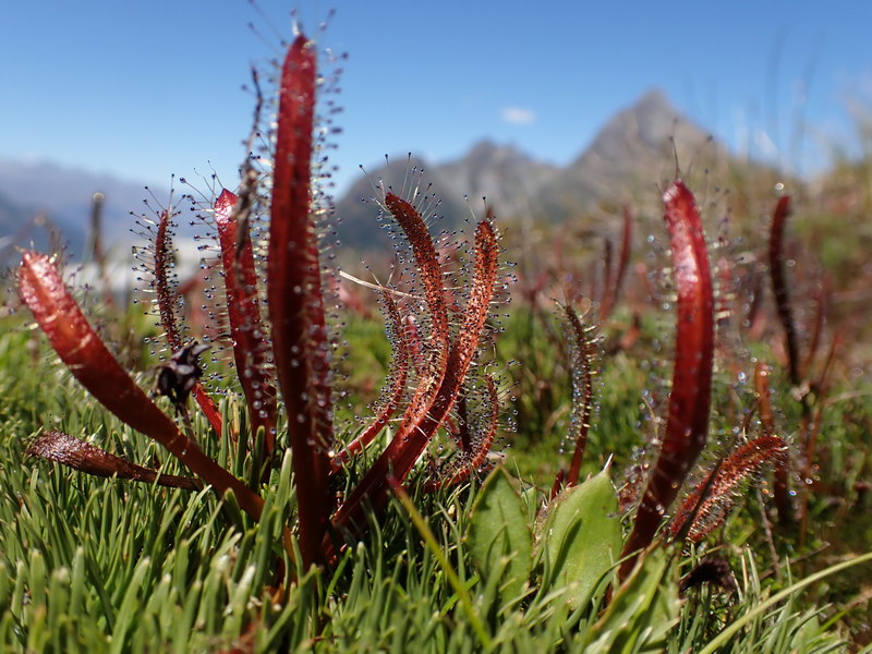 Sundews - Drosera arcturi, New Zealand alpine flowers